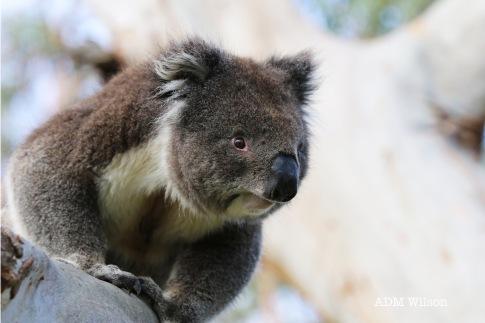 Koala (Australia)