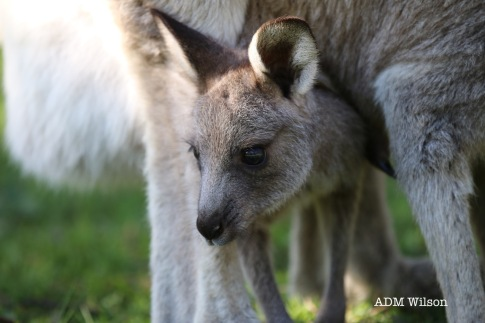 Eastern Grey Kangaroo (joey)