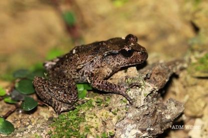 Maud Island frog