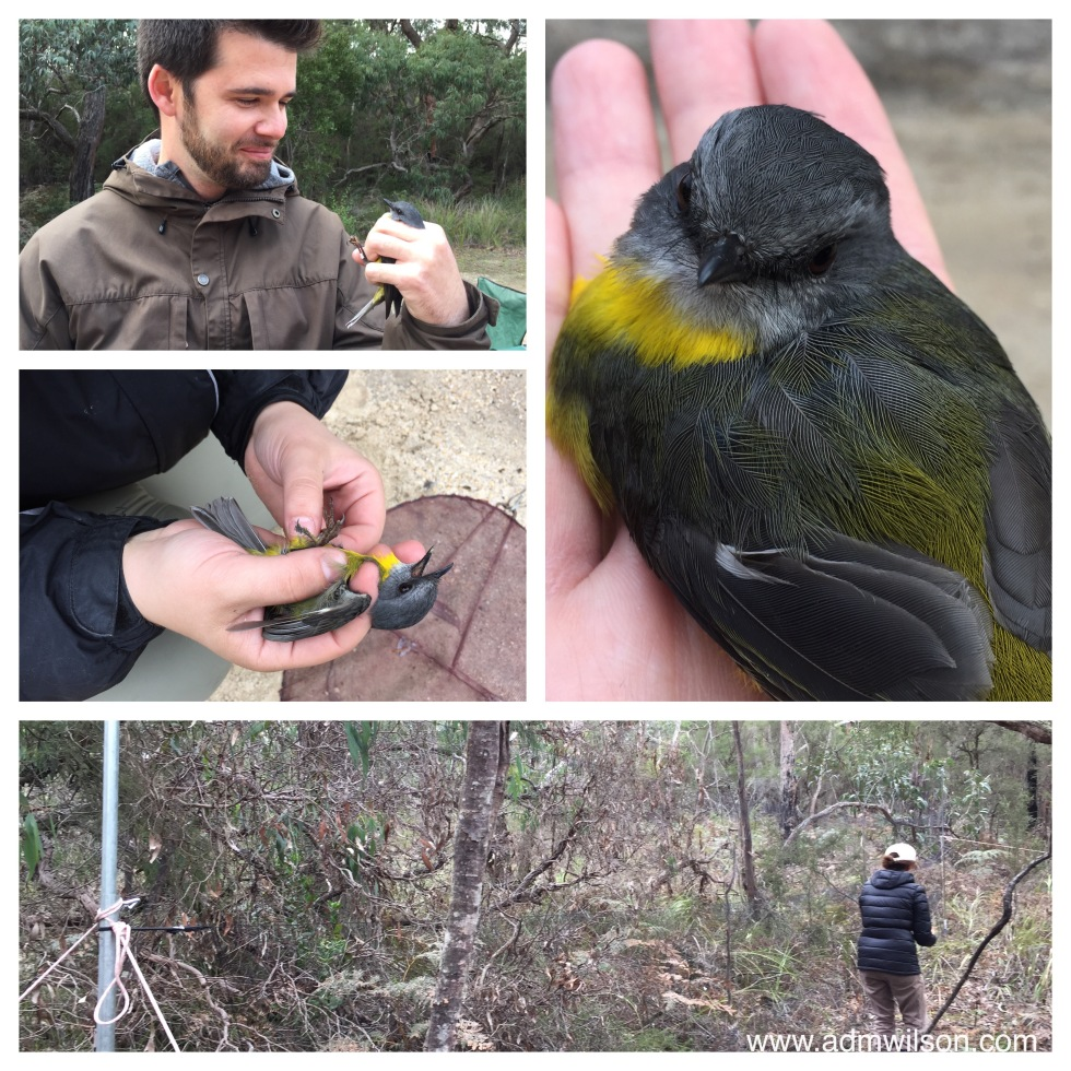 Snap traps and mist netting for birds - and an Eastern Yellow Robin